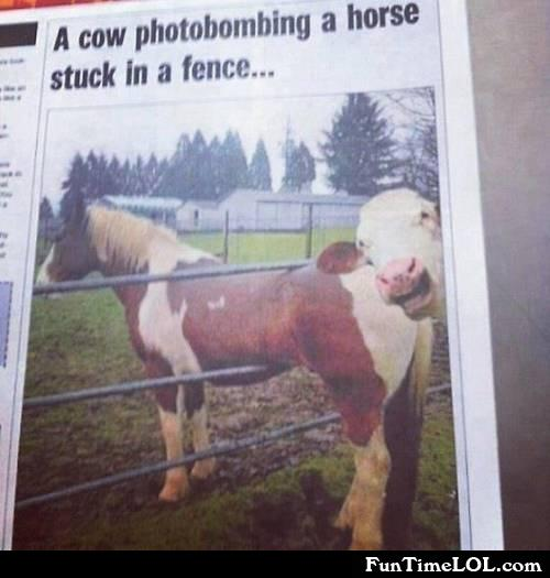 a cow photobombing a horse stuck in a fence
