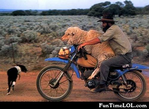sheep on a motor bike