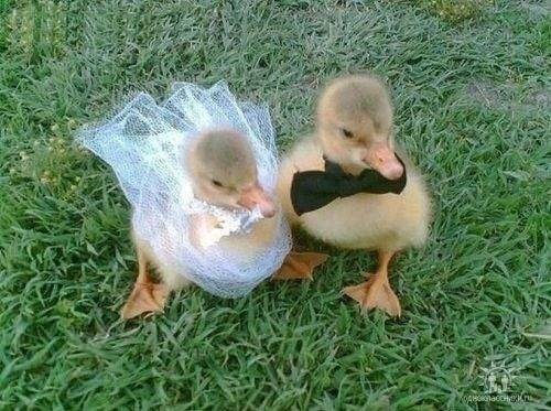 baby ducks getting married