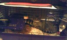 Cat in hamster cage